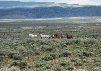 Wild horses near Browns Park