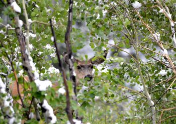 Mule deer hiding in the bushes