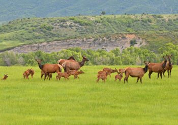 Herd of elk cows and calves