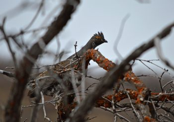 Grouse hiding in a tree