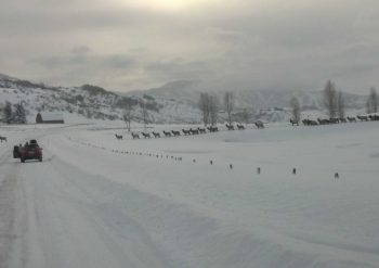 Elk crossing the road in the snow