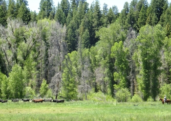 Moving Cows along Soda Creek