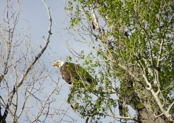 A bald eagle watches from high above