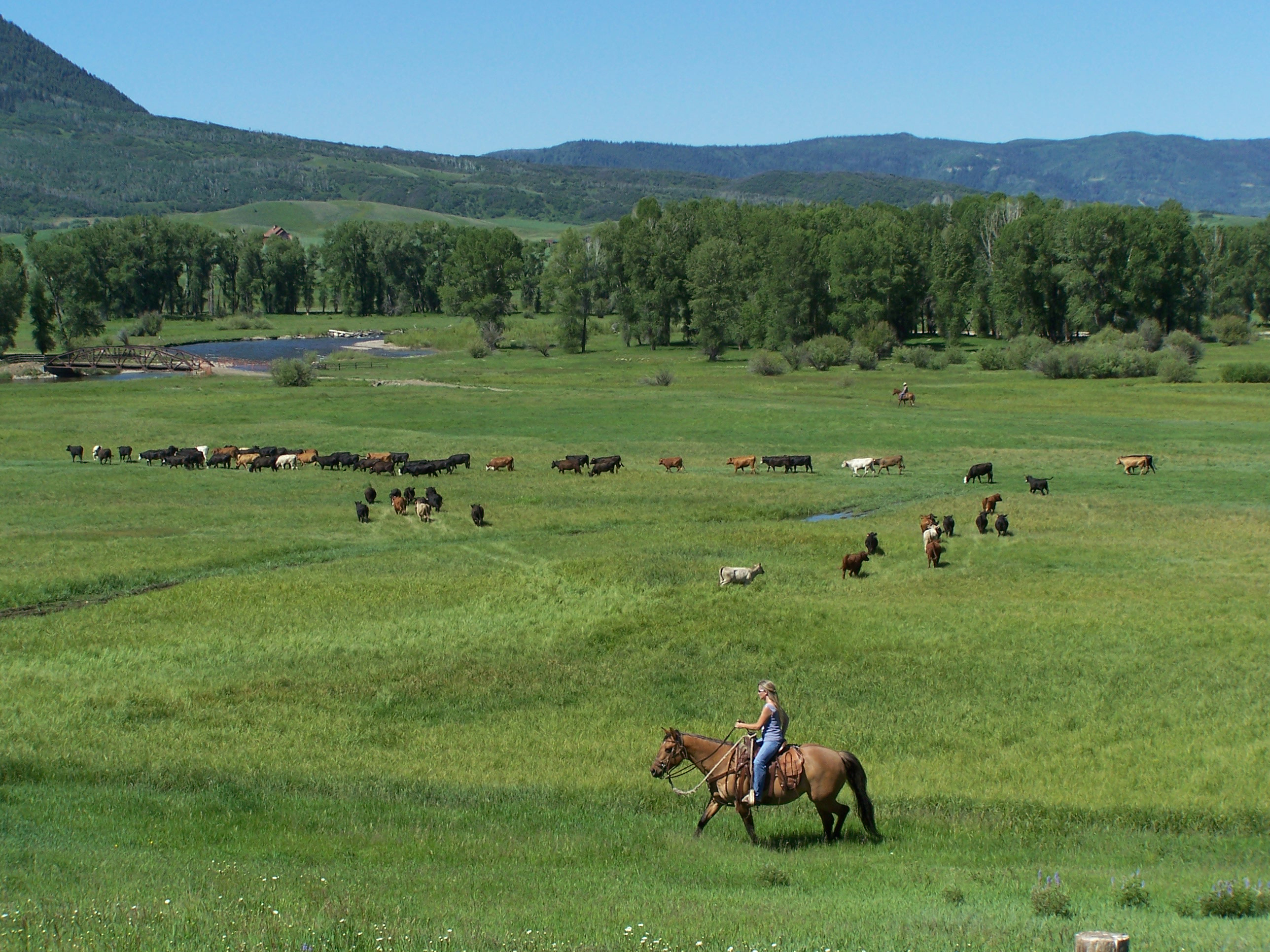 Christy Belton on horseback with her cows