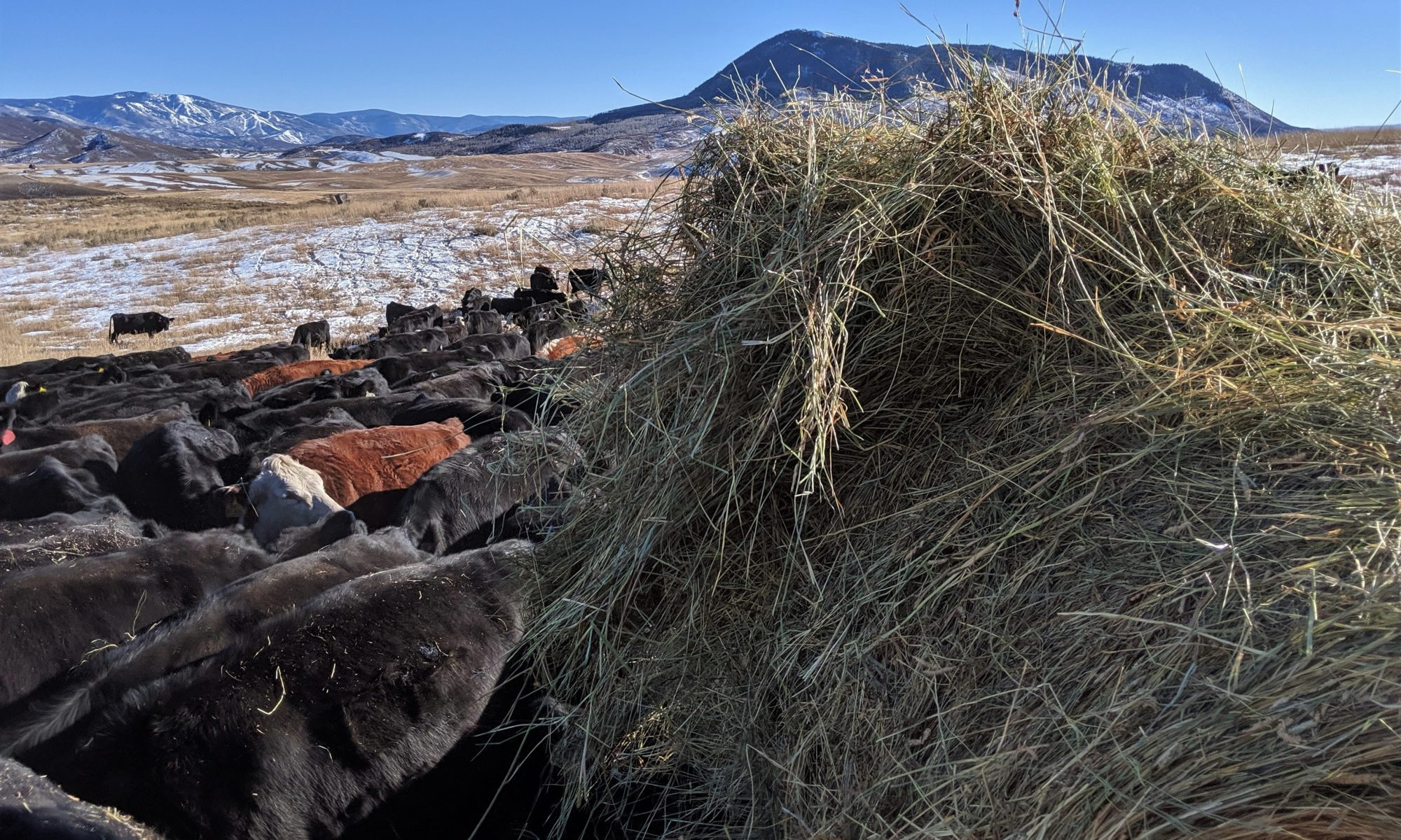 Feeding Cows at the Belton Ranch in winter