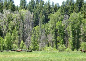 Moving Cows along Soda Creek
