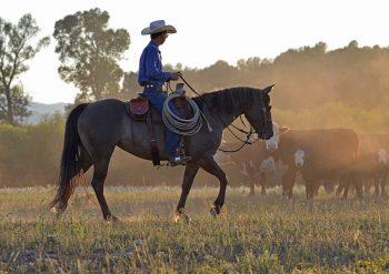 Cowboy Checking Cows