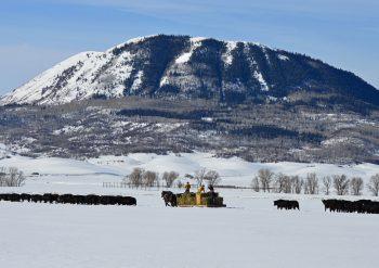 Feeding cattle at sleeping giant